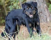 Foto de la adopción de la mezcla de Rottweiler Imagen de archivo libre de regalías