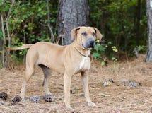 Foto de la adopción de Sharpei del perro Fotografía de archivo