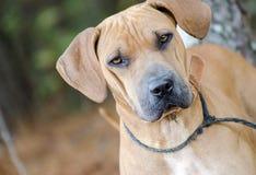 Foto de la adopción de Sharpei del perro Fotos de archivo