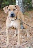 Foto de la adopción de Sharpei del perro Imagen de archivo libre de regalías
