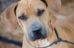 Foto de la adopción de Sharpei del perro Imagenes de archivo