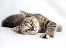 Foto de la adopción del gatito de Tabby Calico, Walton County Animal Control Foto de archivo libre de regalías