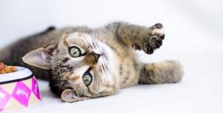 Foto de la adopción del gatito de Tabby Calico, Walton County Animal Control Imágenes de archivo libres de regalías