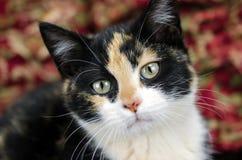 Foto de la adopción del gatito del calicó, Walton County Animal Control Foto de archivo libre de regalías