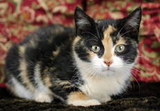 Foto de la adopción del gatito del calicó, Walton County Animal Control Fotografía de archivo libre de regalías