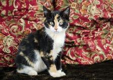 Foto de la adopción del gatito del calicó, Walton County Animal Control Imagen de archivo