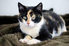 Foto de la adopción del gatito del calicó, Walton County Animal Control Fotografía de archivo