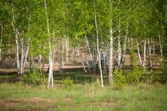 Foto de la arboleda del abedul, hierba verde Fotografía de archivo