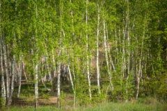 Foto de la arboleda del abedul, hierba verde Imagen de archivo