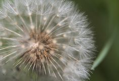 Foto de la bola del soplo en primavera Fotos de archivo