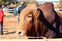 Foto de la cabeza del toro del brahmán de Brown con el anillo de nariz Fotografía de archivo