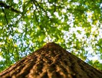 Foto de la copa de un árbol viejo en un bosque verde Imágenes de archivo libres de regalías