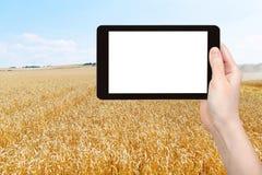 Foto de la cosecha del campo de trigo maduro Fotografía de archivo libre de regalías