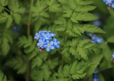 Foto de la flor azul fotos de archivo