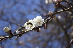 Foto de la flor de cerezo Imagen de archivo libre de regalías