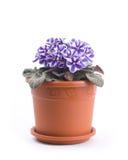 Foto de la flor del sororia de la viola Imagen de archivo