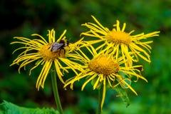 Foto de la flor salvaje amarilla con el abejorro en montañas cárpatas Foto de archivo libre de regalías