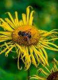 Foto de la flor salvaje amarilla con el abejorro en montañas cárpatas Imagenes de archivo