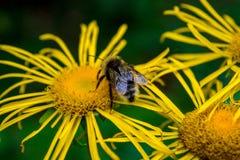 Foto de la flor salvaje amarilla con el abejorro en montañas cárpatas Fotografía de archivo libre de regalías