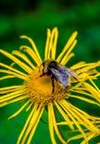 Foto de la flor salvaje amarilla con el abejorro en montañas cárpatas Imagen de archivo