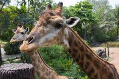 Jirafa un animal imagen de archivo libre de regalías