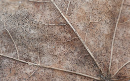 Foto de la macro de la hoja de arce del otoño de la textura Fotografía de archivo libre de regalías