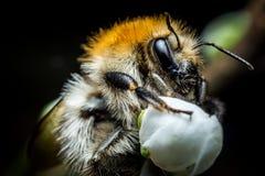 Foto de la macro del abejorro Imagenes de archivo