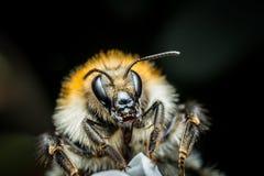 Foto de la macro del abejorro Imagen de archivo libre de regalías