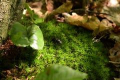 Foto de la macro del escarabajo de estiércol Fotos de archivo libres de regalías