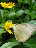 Foto de la mariposa con la flor Fotografía de archivo libre de regalías