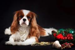 Foto de la Navidad del perro de aguas de rey Charles arrogante en fondo negro foto de archivo libre de regalías