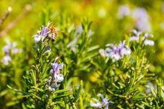 Foto de la primavera de las flores y de la abeja del romero Foto de archivo libre de regalías