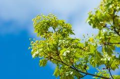 Foto de la primavera de flores Árbol de arce flores de la primavera del norw fotos de archivo