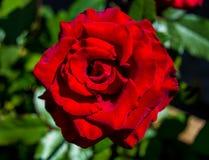Foto de la rosa del rojo en un fondo verde del follaje Imagenes de archivo
