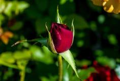 Foto de la rosa del rojo en un fondo verde del follaje Fotografía de archivo libre de regalías
