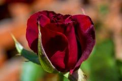 Foto de la rosa del rojo en un fondo verde del follaje Fotos de archivo