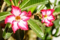 Foto de la rosa hermosa del desierto, o del obesum del adenium imagen de archivo libre de regalías