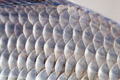Foto de la textura de las escalas de la piel de los pescados del Carassius Modelo escamoso macro de la carpa de Crucian de la vis Foto de archivo