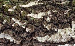 Foto de la vieja textura de la corteza de abedul con el musgo y el liquen en él Fotografía de archivo