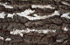 Foto de la vieja textura de la corteza de abedul con el musgo y el liquen en él Imagen de archivo