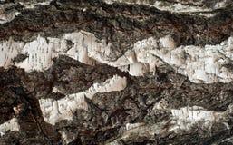 Foto de la vieja textura de la corteza de abedul con el musgo y el liquen en él Fotos de archivo libres de regalías
