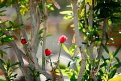 Foto de las rosas florecientes del rojo lindo en los vagos de la naturaleza de las ramas de árboles Foto de archivo