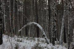 Foto de los árboles de abedul Imagen de archivo libre de regalías