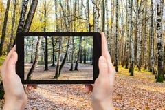 Foto de los árboles de abedul en bosque en otoño Imagen de archivo libre de regalías