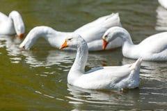 Foto de los gooses que nadan y que se zambullen en el lago Imagen de archivo