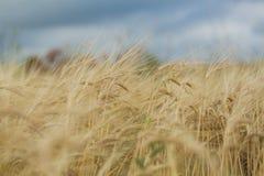 Foto de los puntos maduros del trigo Imagen de archivo libre de regalías