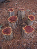 Foto de los tocones de árbol Fotos de archivo libres de regalías