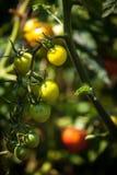 Foto de los tomates que maduran en cama del jardín en el día soleado Fotos de archivo