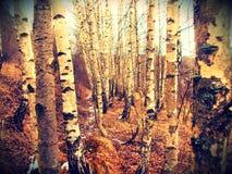 Foto de muchos abedules en bosque Fotografía de archivo libre de regalías