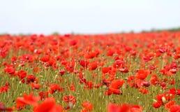 Foto de papoilas vermelhas bonitas Imagem de Stock
